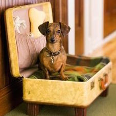 Dachshund Sitting in in Suitcase Dog Bed