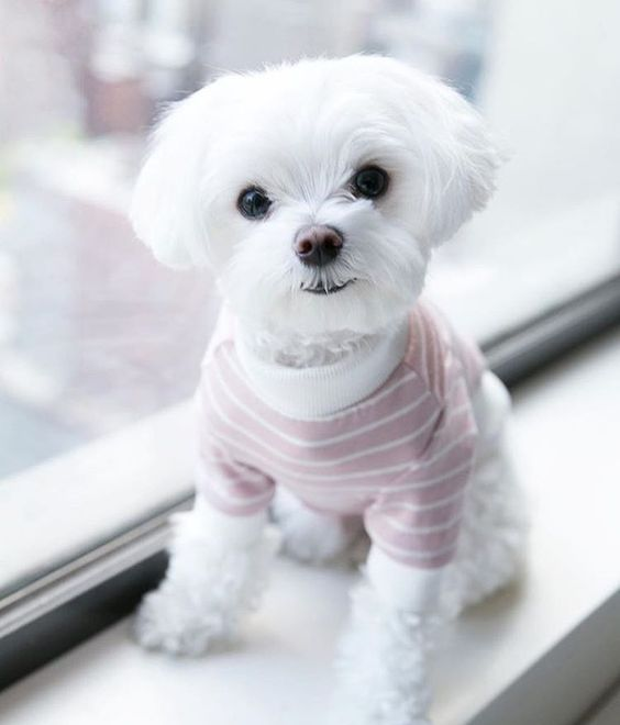 Little White Dog Wearing Striped Shirt