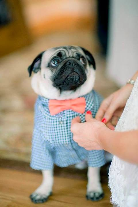Pug Wearing Collared Shirt & Bow Tie