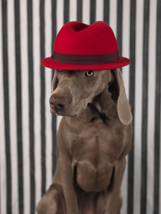 William Wegman - Red on Head photograph