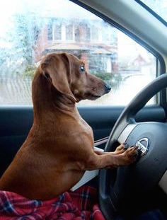 Dachshund Dog Behind Driver's Wheel