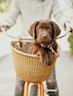 Chocolate Lab Puppy in Bicycle Basket