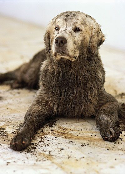 Muddy Golden Retriever