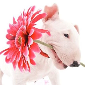 Bull Terrier with Pink Flower in Mouth