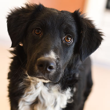 Rufus the Border Collie Spaniel