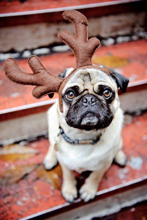 Pug Wearing Reindeer Antlers