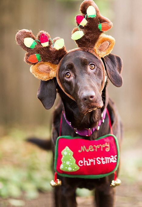 Chocolate Lab Dressed Up as Reindeer
