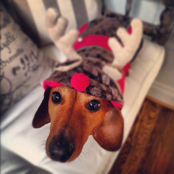 Dachshund Wearing Reindeer Costume