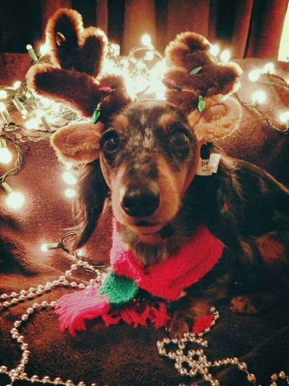 Dachshund in Reindeer Outfit