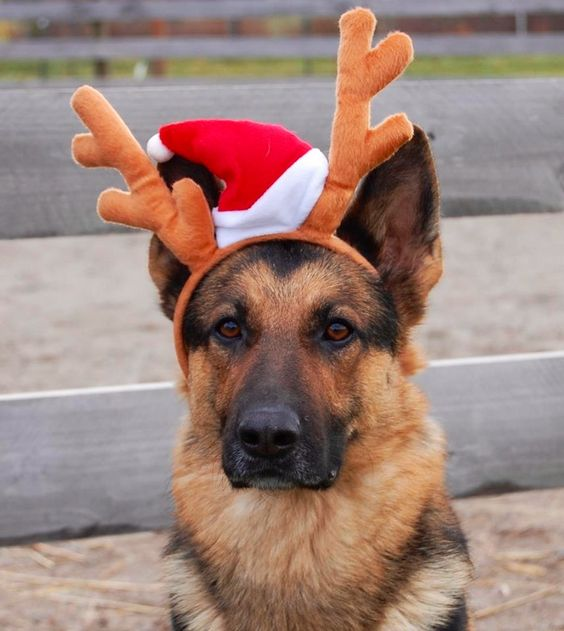 Cute Santa German Shepherd Reindeer