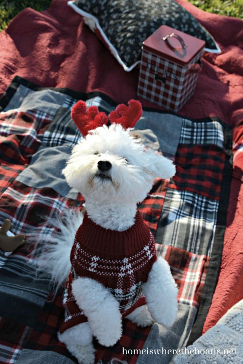 Cute Maltese Wearing Reindeer Antlers & Christmas Sweater