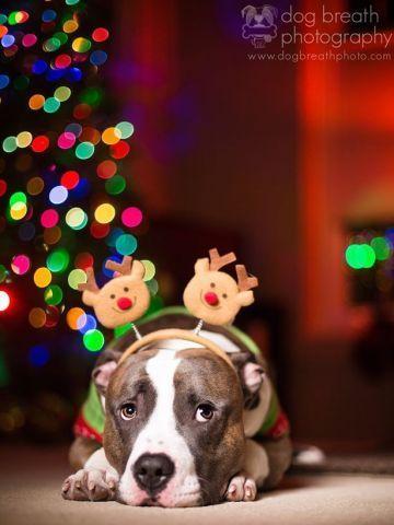 Pitbull Wearing Reindeer Antlers - Pitbull Calender