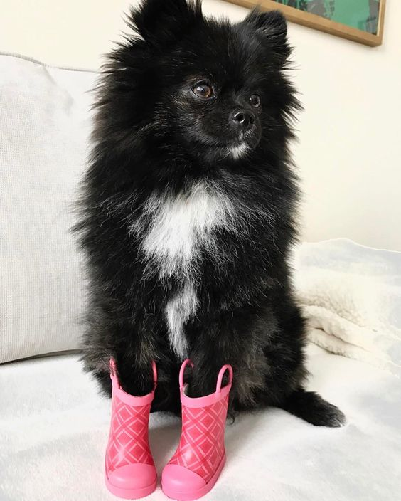 maia_the_pom on Instagram