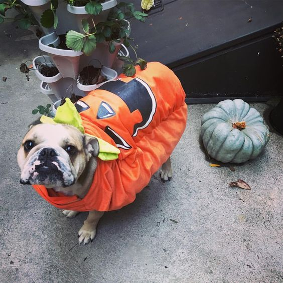 Pumpkin Dog Halloween Costume