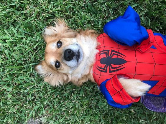Spiderman Spiderdog Halloween Costume