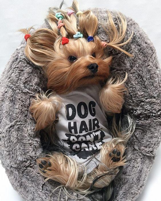 Yorkie Wearing Dog Hair Don't Care Tank By Barkley & Wagz