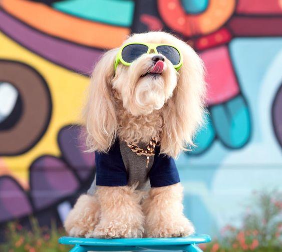Maltipoo Wearing Custom Barkley & Wagz Raglan