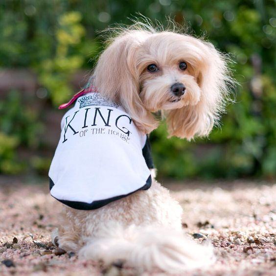 Maltipoo Wearing Custom Barkley & Wagz King of the House Raglan
