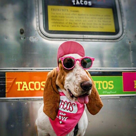"Basset Hound Wearing ""Tacos are Love"" Bandana By Barkley & Wagz"