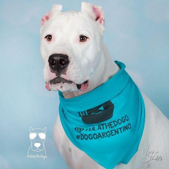 Dogo Argentino Wearing Custom Instagram Dogstagram Barkley & Wagz Bandana