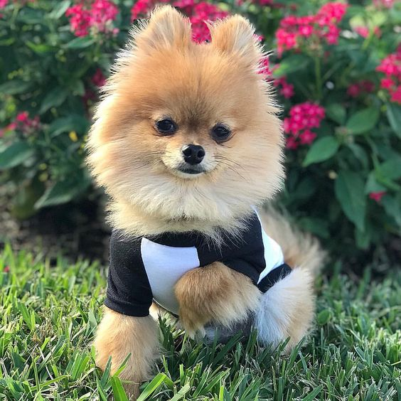 Pomeranian Wearing Black & White Barkley & Wagz Raglan