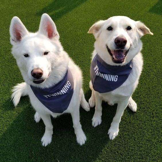 Dogs Wearing Barkley & Wagz #TWINNING Bandana Set