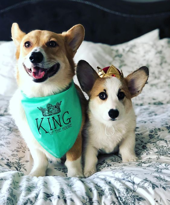 "Corgi Wearing ""King of the House"" Barkley & Wagz Bandana"