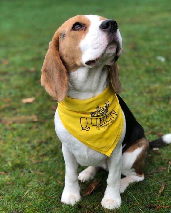 "Beagle Wearing ""Queen of the House"" Custom Barkley & Wagz Bandana"