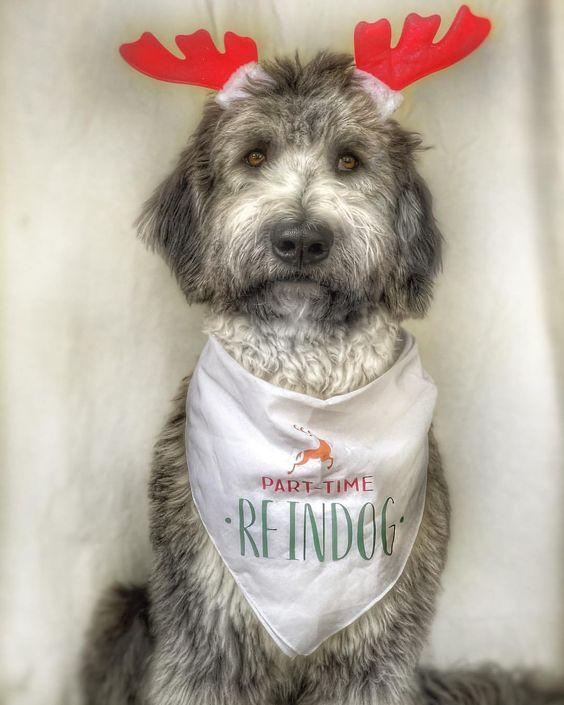 """Bernedoodle Wearing """"Part-Time Reindog"""" Christmas Bandana by Barkley & Wagz"""