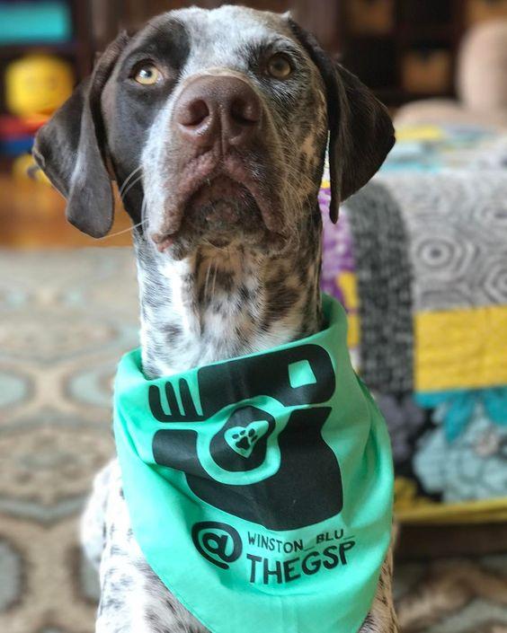 German Shorthaired Pointer Wearing Custom Barkley & Wagz Dogstagram Instagram Bandana