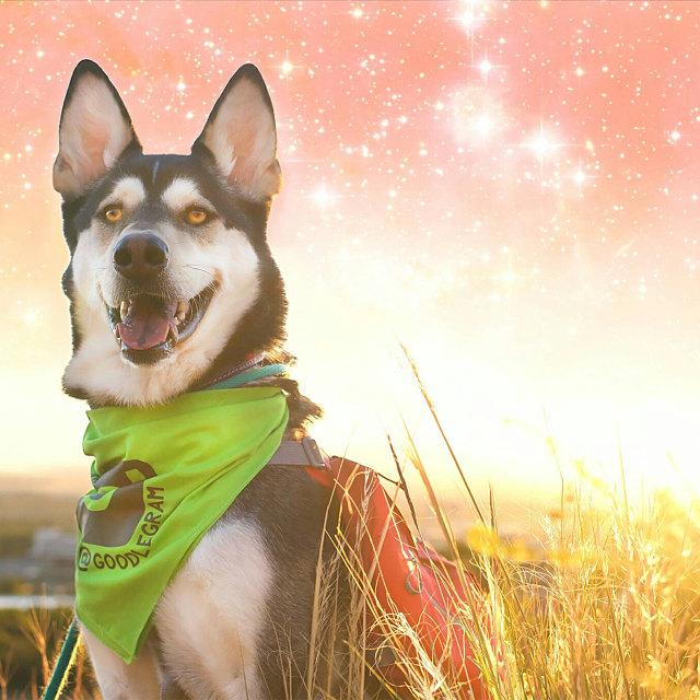 Dog Wearing Custom Barkley & Wagz Dogstagram Instagram Handle Bandana