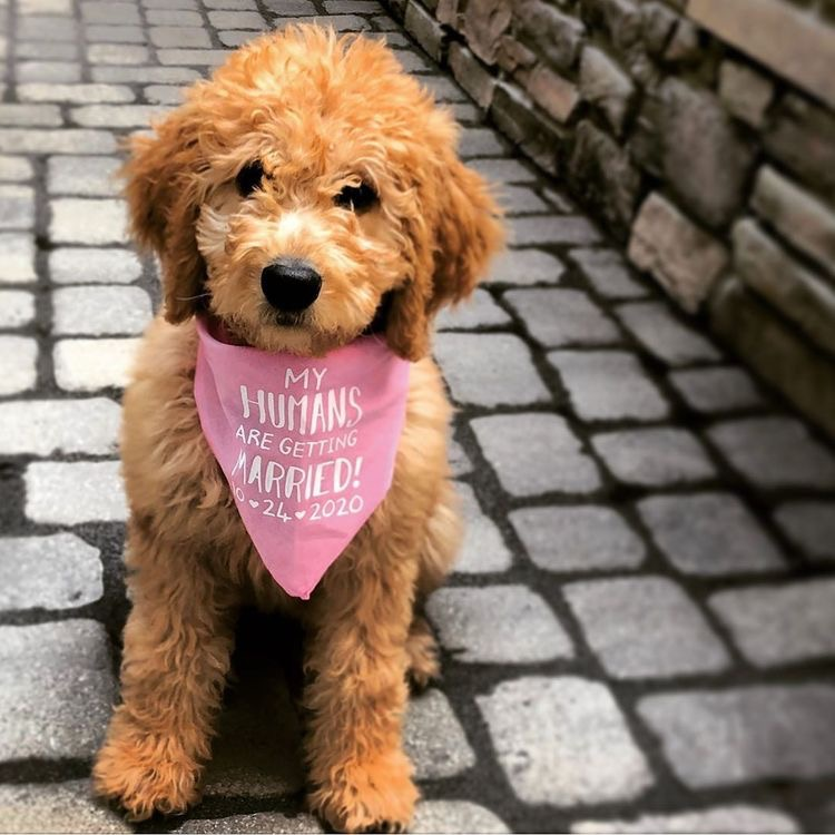 My Humans Are Getting Married - Goldendoodle
