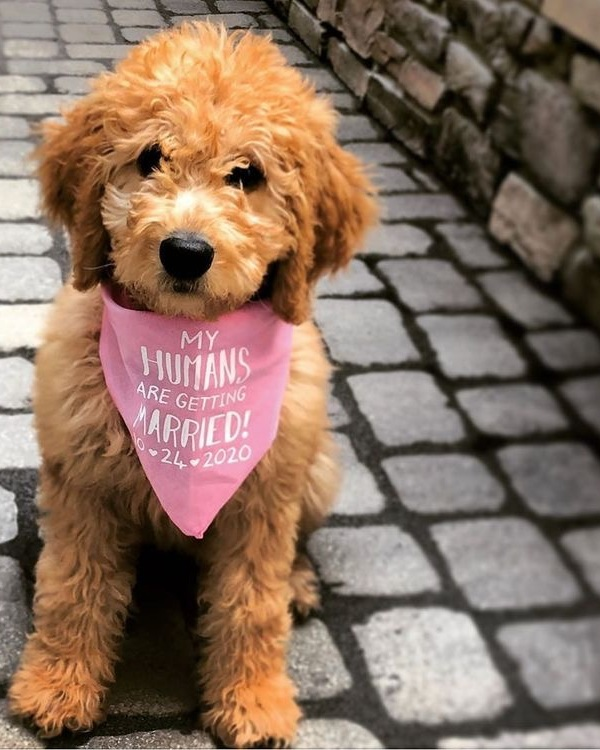 Doodle Goldendoodle Wearing My Humans Are Getting Married Personalized Customized Custom Bandana By Barkley & Wagz