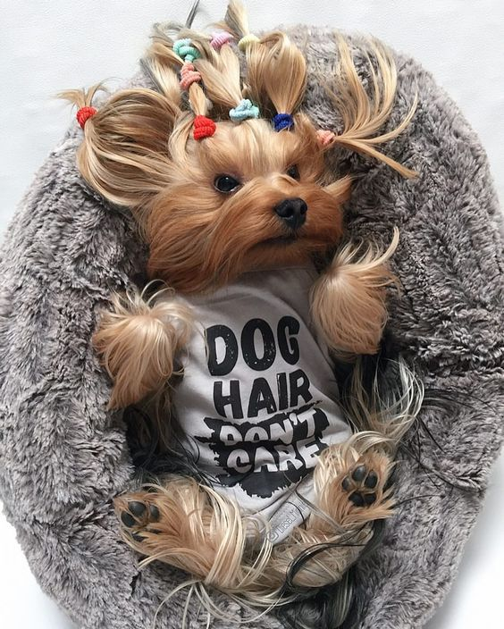 Yorkie Wearing Dog Hair Don't Care Tank By Barkley & Wagz