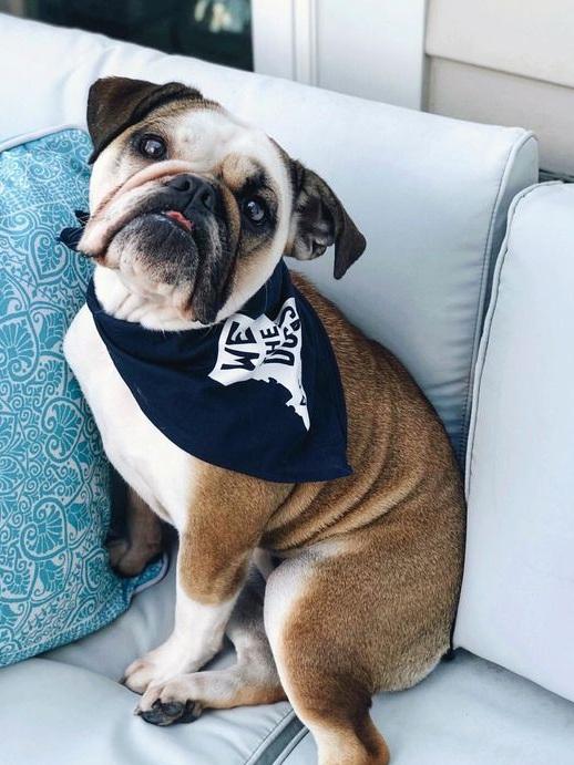 Bulldog Wearing We The Dogs DC Bandana By Barkley & Wagz