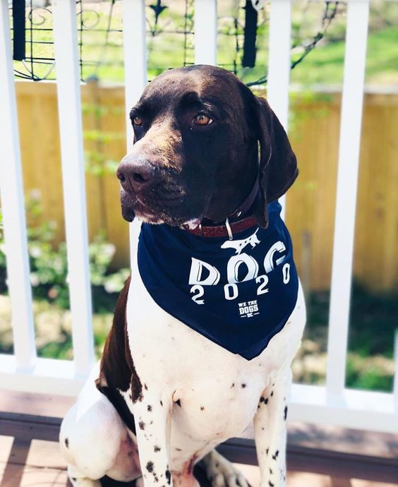 German Shorthaired Pointer Wearing DOG 2020 Bandana By Barkley & Wagz For We The Dogs DC