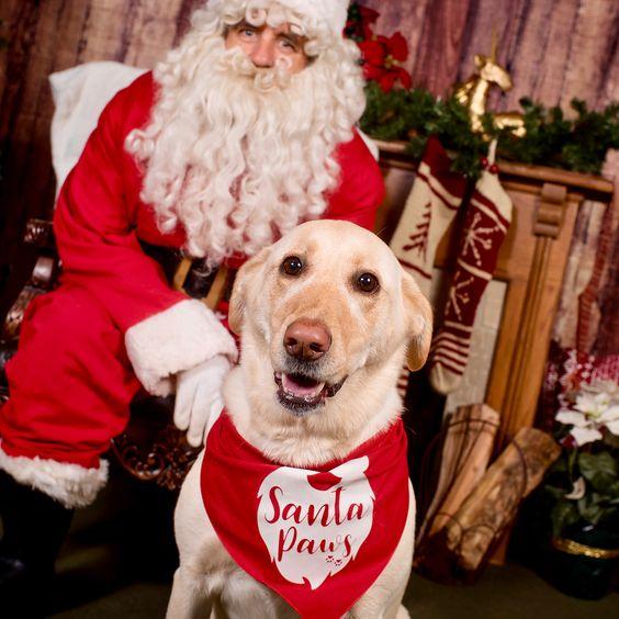 Labrador Wearing Barkley & Wagz Santa Paws Bandana