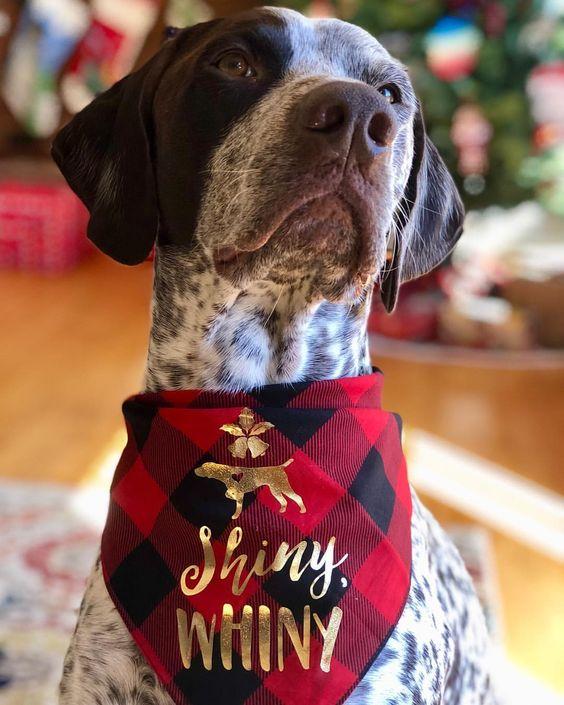 German Shorthaired Pointer Wearing Barkley & Wagz Christmas Bandana