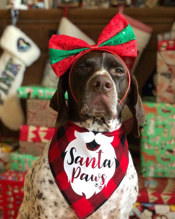 German Shorthaired Pointer Wearing Barkley & Wagz Santa Paws Bandana