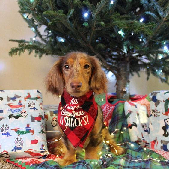 Dachshund Wearing All I Want For Christmas Is Snacks Bandana