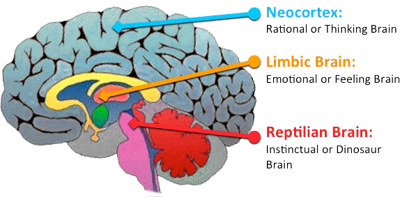 The brain stem (Red and Pink) is responsible for coordinating chewing, swallowing, and breathing. This is why eating happens so automatically!