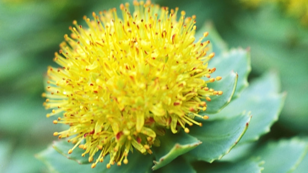 A picture of the rhodiola rosea plant.