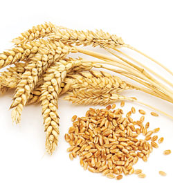 Wheat grain. Wheat can often cause brain fog in many people.
