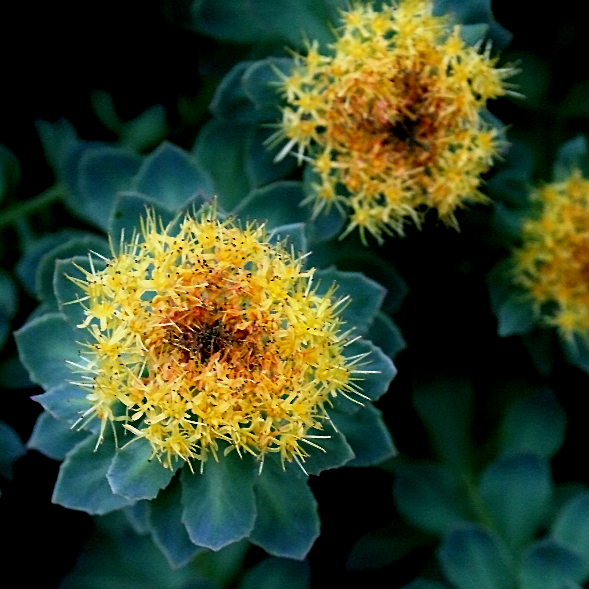 The rhodiola rosea plant. Rhodiola can lower cortisol levels if your cortisol levels are high.