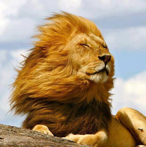 A lion. Lion's mane mushroom is a supplement that can increase nerve growth factor and help prevent and reverse cognitive decline and dementia.