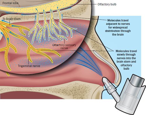 Illustration of how intranasal insulin works.