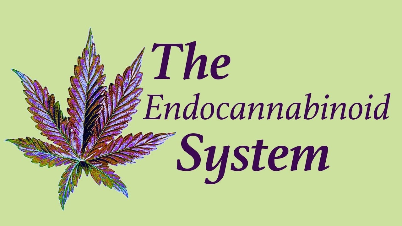 Marijuana leaf and the endocannabinoid system.