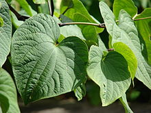 Kava kava plant. Kava supports the endocannabinoid system.