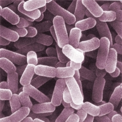 Bacteria. Psychobiotics are bacteria that affect our psychological state of mind.