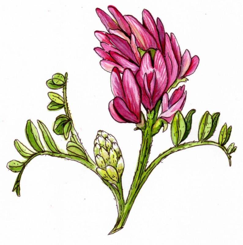 Illustration of the astragalus plant. Astragalus can increase IGF-1 levels.